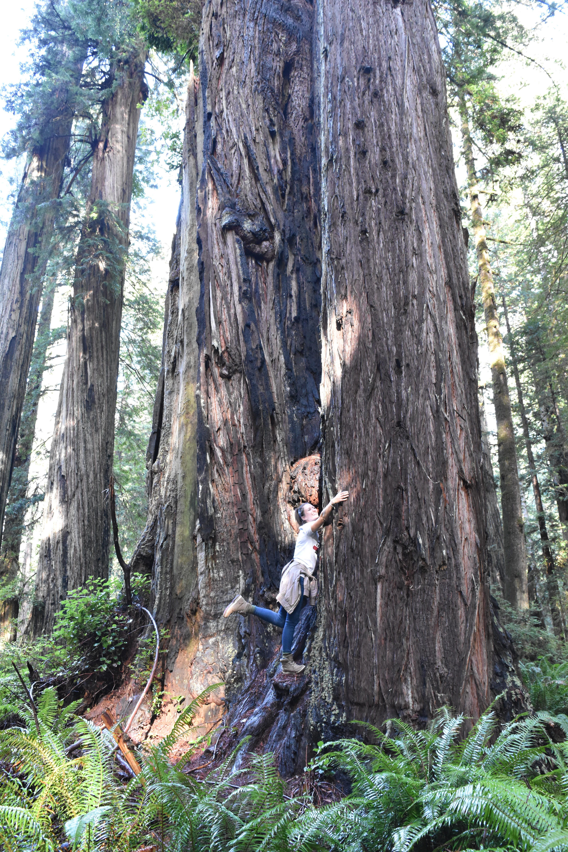 Einen Baum umarmen - Redwoods